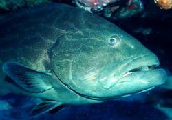 Goliath grouper close up, Cozumel. Nikonos V 28mm lense by Marylin Batt