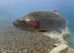 Rainbow trout. Capernwray. 10.5mm fisheye - living up t... by Mark Thomas