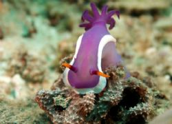 Nudibranch, crowned and climbing hard to the top ... by David Johnson