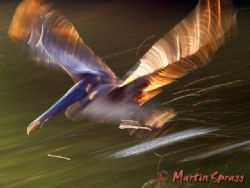 Take Off! A brown pelican in motion by Martin Spragg