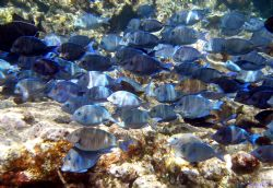 School of blue tangs swimming at the corral gardens reef-... by Andrew Kubica