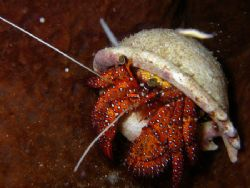 Hermit Shell Crab. Taken South China Sea - Pulau Rendang by Desmond Chang