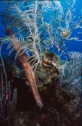 Trumpetfish @ Victory Reef Bahamas  Nikonos V w/ 15mm lens by Ian Brooks