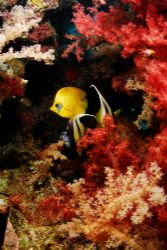 soft corals and 2 species of butterfly fish together take... by Javier Sandoval