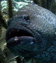 closeup of a black grouper wiating at a cleaning station. by Barry Kirchner