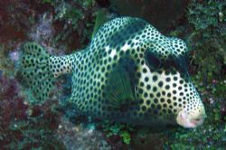 Spotted Trunkfish by Lora Tucker