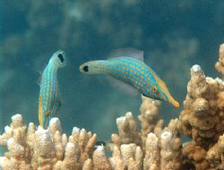 Cute pair of fishes, not sure of there name. Taken at Bun... by Natasha Tate