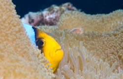 Anemonefish Profile by Andy Lerner