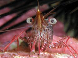 Ok, Take your best shot on me! This Camel shrimp is very ... by Tony Otion