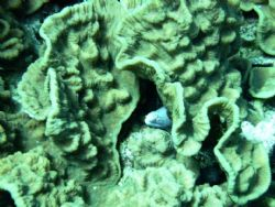 Picture taken of an eel hiding in some cabbage coral in t... by Brian Schembera