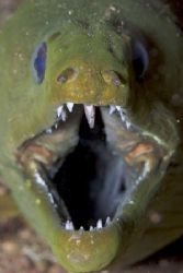 close up of a nice Green Moray by Terry Moore