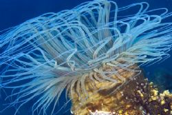 This anemone just looked so pretty as it was waving in th... by Erika Antoniazzo