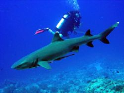 white tip reef shark taken at 'osprey reef' Australia by Laura Whittaker