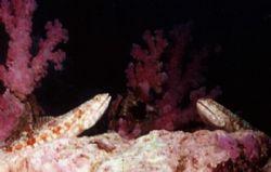 A pair of Lizzard fish. Nikonos V 29mm lense by Marylin Batt