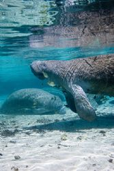 manatee in crystal river by Michael Shope
