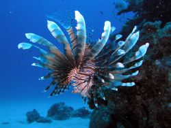 This lionfish is graceful and beautiful as a butterfly, a... by Tony Otion