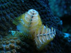 christmas tree worm in a boulder star coral at old bouy d... by Victor J. Lasanta Garcia