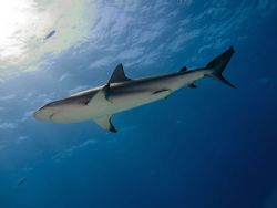 Caribbean reef shark, cruising the Bahamas by Steve Laycock