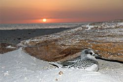 Juvenile Red Tailed Tropic Bird still in its nest. They n... by Natasha Tate