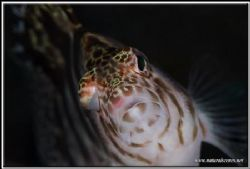 Hawkfish up very close D200/105 by Yves Antoniazzo