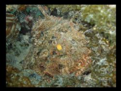Adult Scorpion Fish