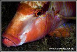 Portrait of a sleeping goatfish Tulamben, USS Liberty wre... by Yves Antoniazzo