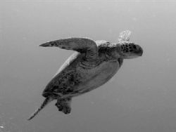 Heading up for air, Taken at Heron Island Australia by Peter Simpson