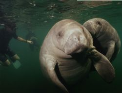 Manatees @ Crystal River Florida by Ian Brooks