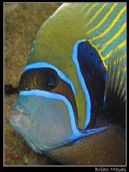 Emperor Angelfish close up by Brian Mayes