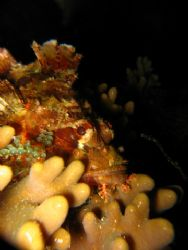 Scorpion Fish..hiding,taken with my Cannon S80 1/250s, Fo... by Zafarol Lokman