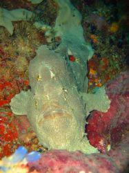 Un poisson grenouille jaune. Aux Philippines celà est pre... by Philippe Brunner