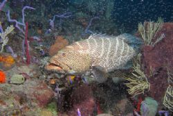 Tiger Grouper poses for the camera by Terry Moore