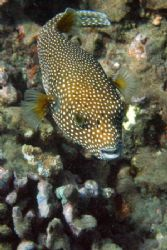 Spotted Puffer, canon 350d, Maui. by Aaron Longshore
