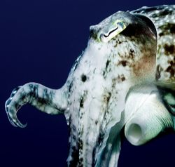 Cuttlefish Indonesia 2006 by Chris Wildblood