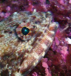 Lizardfish- Saipan Grotto by Martin Dalsaso