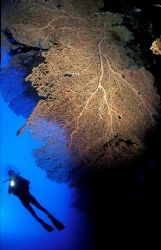 Perfectly weightless diver floating by gorgonian in the R... by Casper Tybjerg
