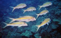 Yellow Striped Goatfish