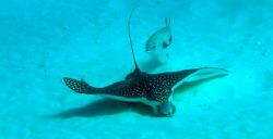 Eagle ray with interested follower. They showed up while ... by Dave Breckenridge