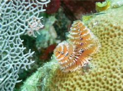 Christmas tree worm, taken of St John by Jacob Thastrup