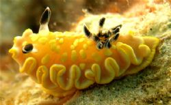 cool nudibranc, and he was zooming along, not the fastest... by Elizabeth Chase