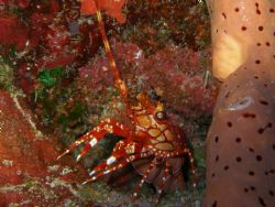 a red banded lobster in steps dive site at parguera wall by Victor J. Lasanta Garcia