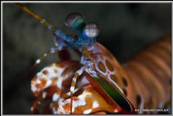 Gold colored mantis shrimp taken on a wreck dive in Maume... by Yves Antoniazzo