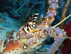 face of a caribbean spiny lobster in break down reef in p... by Victor J. Lasanta Garcia