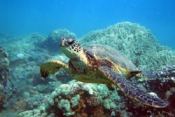 Curious Honu checking out my rig, canon 350d+fantasea box. by Aaron Longshore