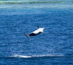 Spinner Dolphin, Maldives, 2006. by Chris Wildblood