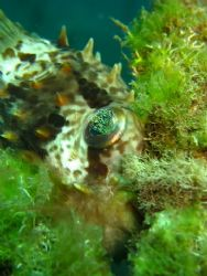 Puffer fish..relaxing on soft coral, taken with Cannon S8... by Zafarol Lokman