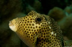 Spotted trunkfish, Bonaire by Dan Evans