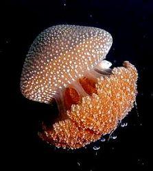 Jelly fish with her tiny friend by Zafarol Lokman