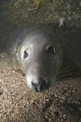 Grey seal.Farne isles. D200, 16mm. by Derek Haslam