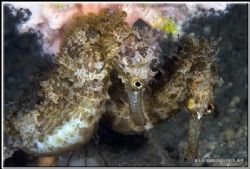If you ask me those two seahorses are up to no good!!! D2... by Yves Antoniazzo